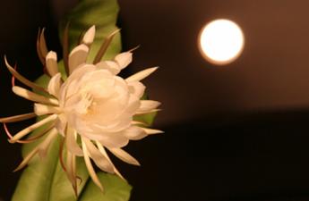 Bài thơ Hoa quỳnh và trăng