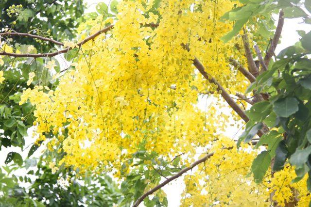 Bài thơ Mùa hoa muồng hoàng yến